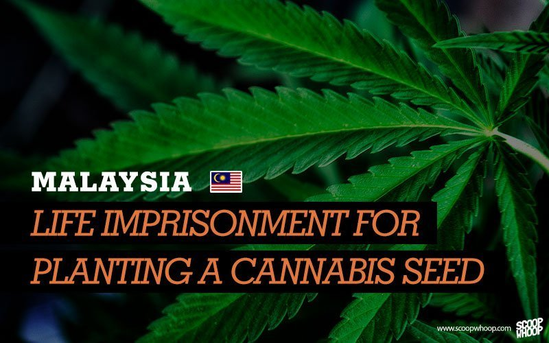 malaysia busted with weed