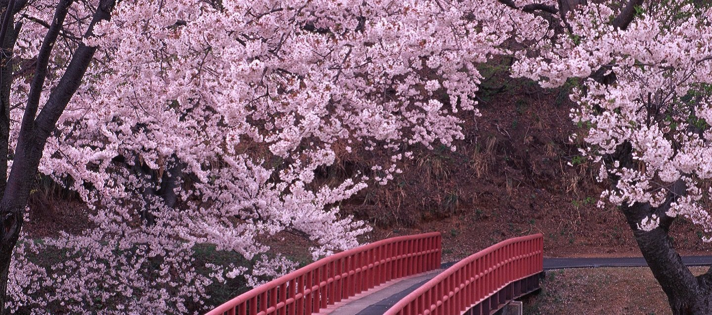 These Surreal Photographs Show How Cherry Blossom Trees Change The