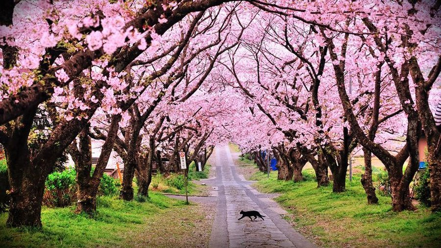 Image result for cherry blossoms in shillong
