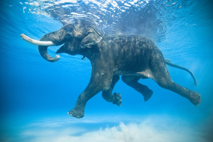Wild Elephant Swimming In The Water