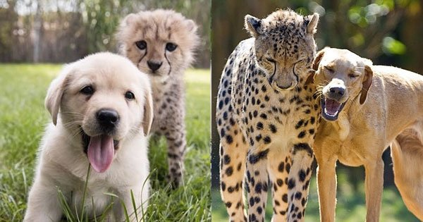 Cheetahs Are So Shy Anxious They Need Dogs To Help Them Chill - Cheetahs can be so shy that zoos give them emotional support dogs