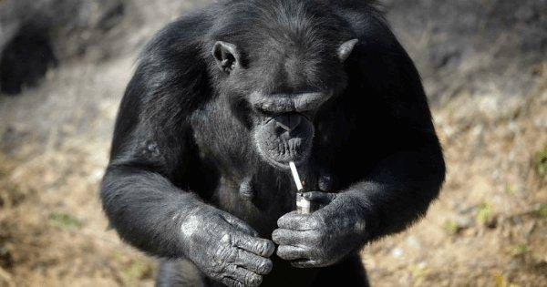 Image result for इस चिम्पांजी को है सिगरेट पीने की आदत