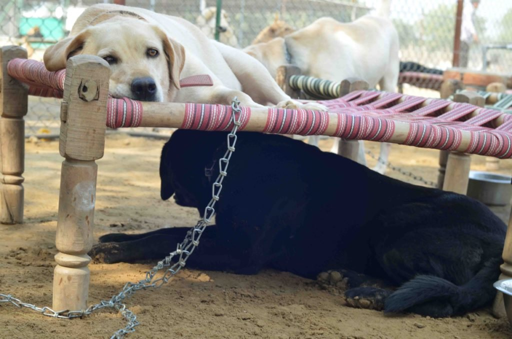 With Indians Abandoning 'Fancy Dogs' At An Alarming Rate, Are Pedigree Pets The New Strays?