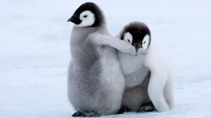20 Adorable Photos Of Baby Penguins You Ll Be Flipping