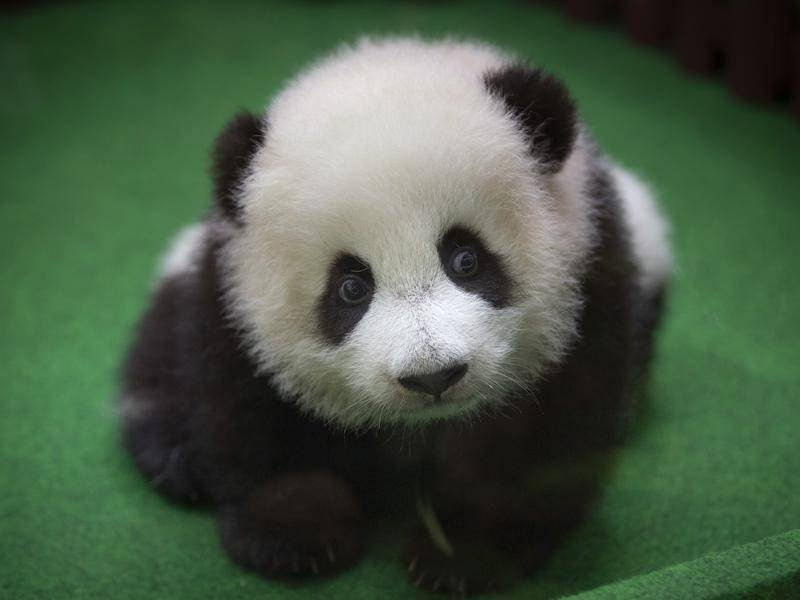 Just Cute Af Pictures Of Panda Babies That Make Sure You Don T Get Any Work Done Today