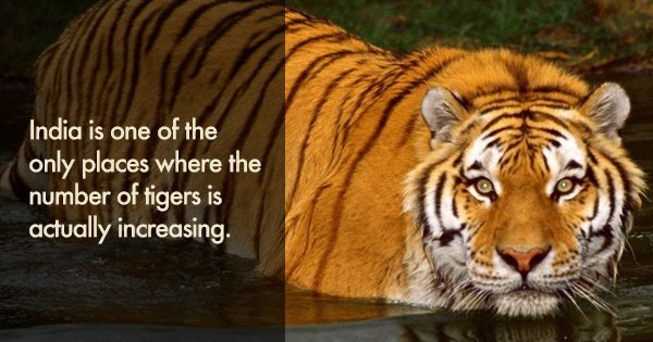 12 facts about the mighty tiger that show why there s - Show me a picture of the tiger ...