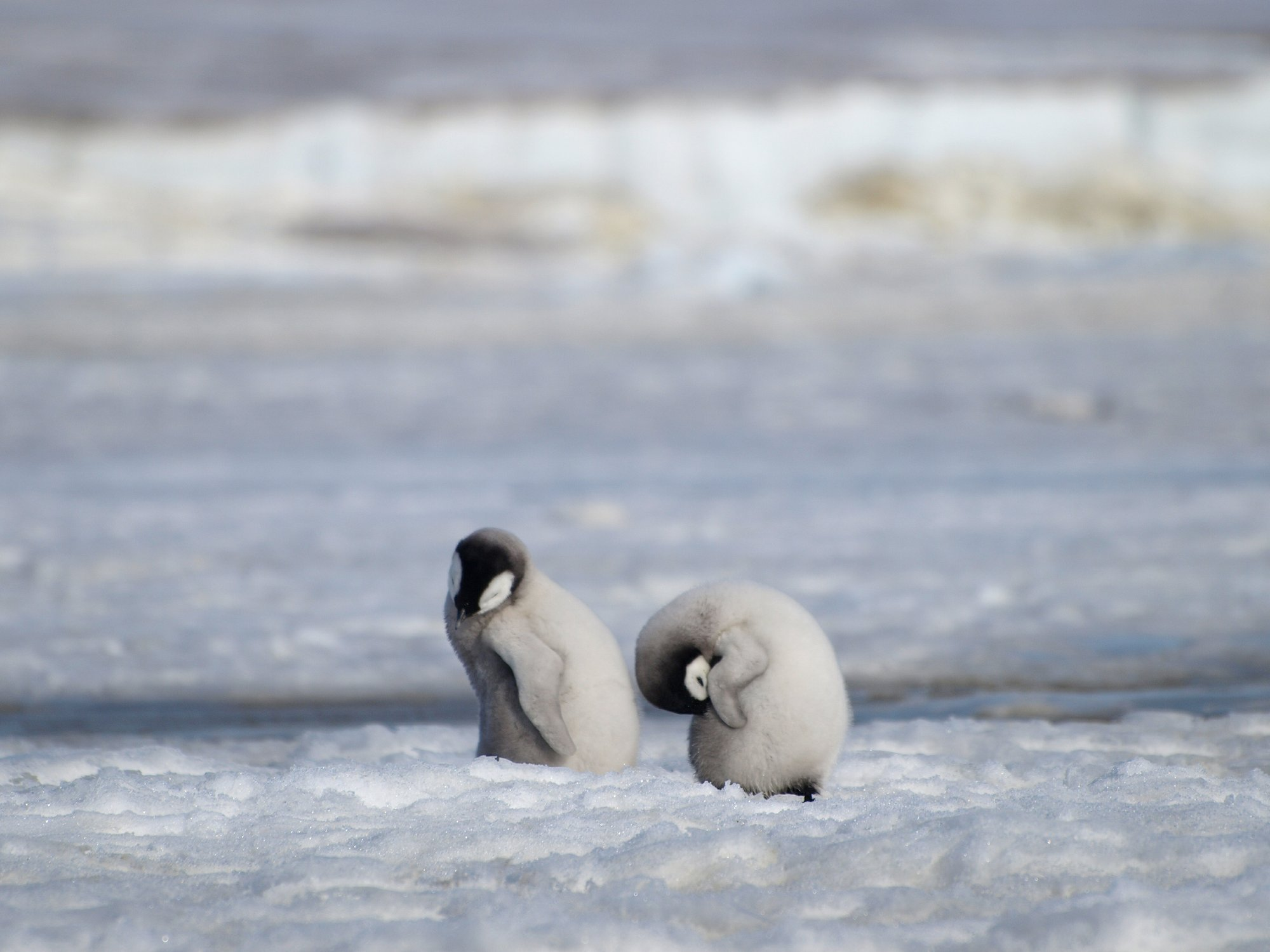 20 Adorable Photos Of Baby Penguins You'll Be 'Flipping ...