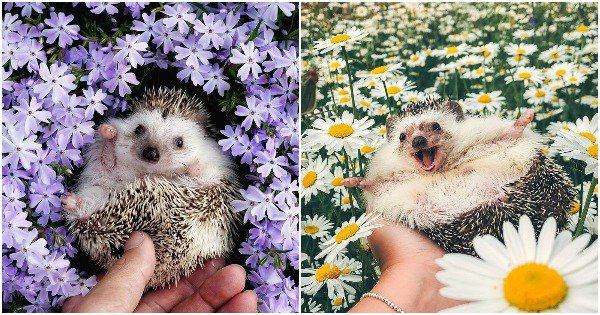 20 Pics Of Cutie Hedgehogs Chilling In Flower Fields, Looking 'Sharp' AF