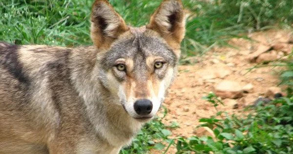 A Rare Indian Grey Wolf Spotted After 80 Years In Bangladesh Beaten To Death By Farmers