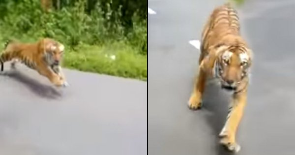 Tiger Chases Two Forest Officials Riding On A Bike Through A Kerala Sanctuary, Video Goes Viral