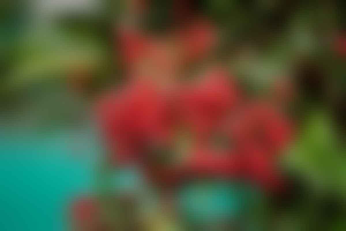 Ardisia crenata is a species of flowering plant.