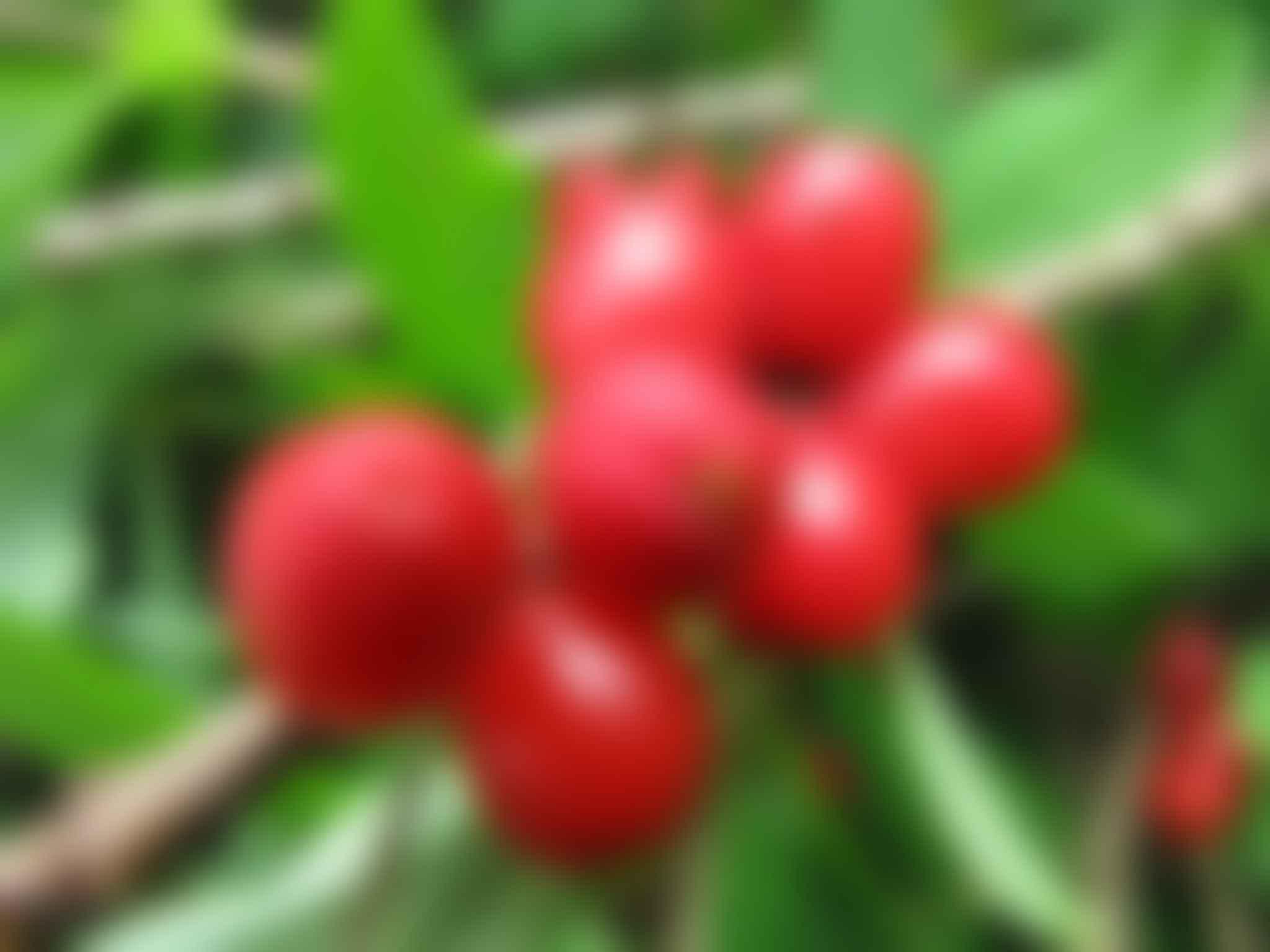 Poisonous plants. Daphne Berries.