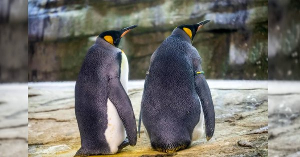 Same-Sex Penguin Couple Adopt An Egg After Years Of Trying To Hatch 'Stones' & 'Food'