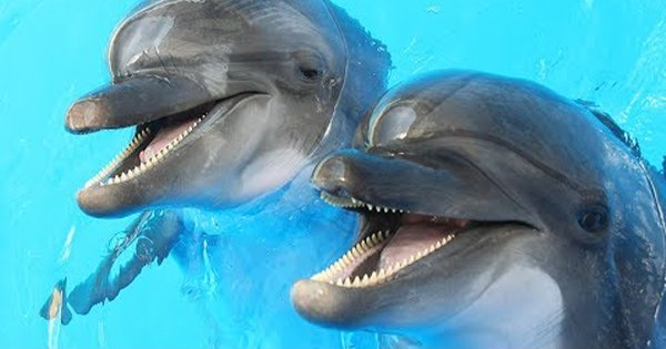 In Other News, Dolphins Chew On Puffer Fish To Get High