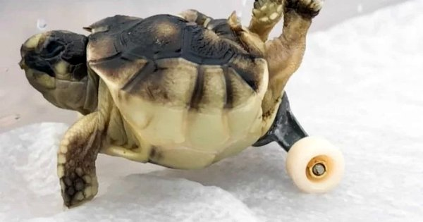 A Tortoise Was Being Put Down Cuz He Couldn't Walk, So This Man Gave Him Roller Skates & A New Life