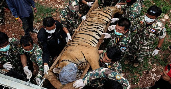 More Than Half Of The Tigers Rescued From The Infamous 'Tiger Temple' In Thailand Have Died