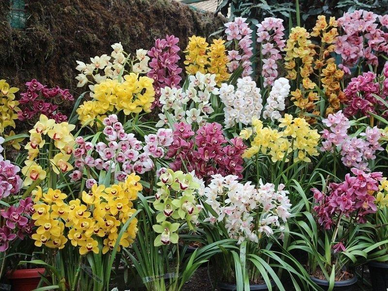 sikkim flower show