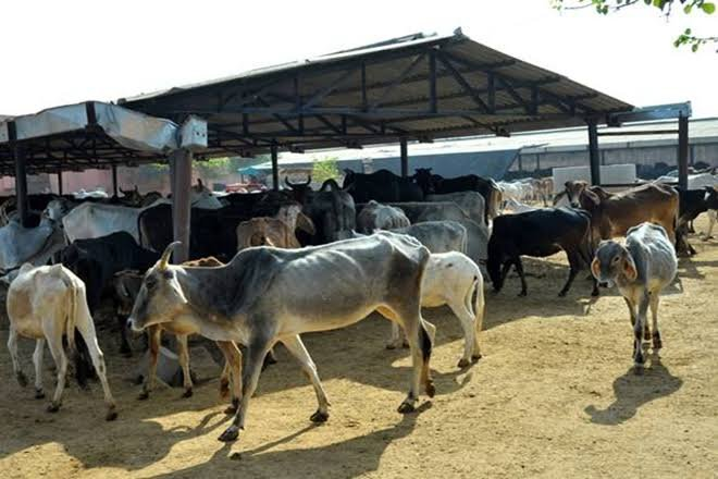 Cow Shelters UP