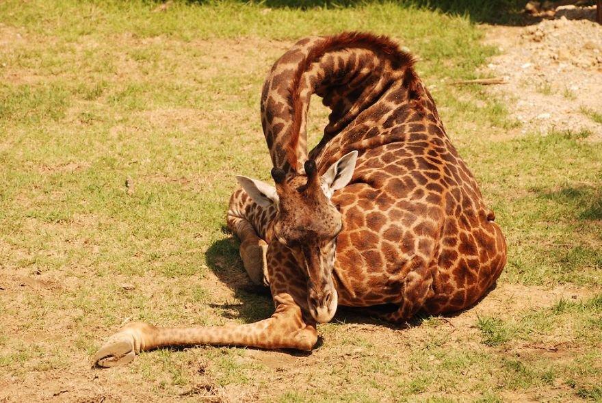 Pics Of Giraffes Sleeping In Uncomfortable Positions.